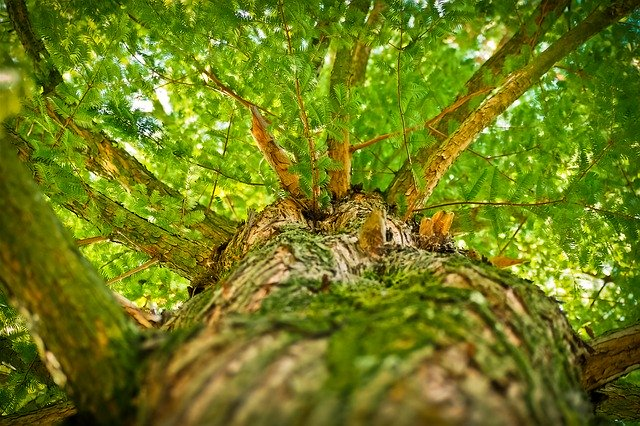 view up the trunk of a tree with branches and green leaves